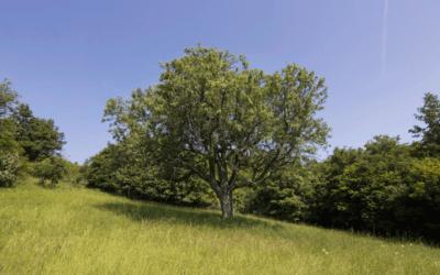 Titulom Strom roka 2019 sa pýši Oskoruša domáca z Uzovskej Panice